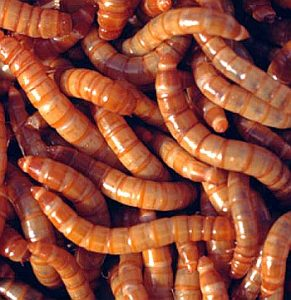 GiantMealworms-1