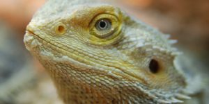 NS-Bearded-Dragon-4-_2-1